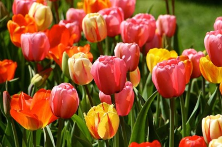 Los Tulipanes De Oro Translations of the word tulipanes from spanish to english and examples of the use of tulipanes in a sentence with their translations: los tulipanes de oro
